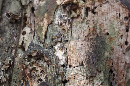 Phần thân của cây sưa bị mối mọt khiến người dân lo lắng. Ảnh: Gia Chính