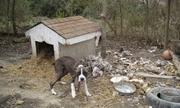 Người nuôi có nguy cơ đi tù nếu xích chó không đúng chuẩn ở Mỹ