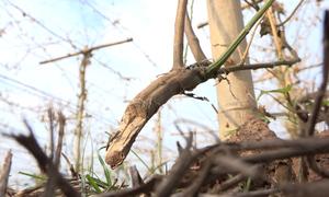Vườn cây dược liệu trăm triệu ở Hà Nội bị chặt phá trong đêm
