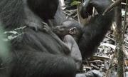 Khỉ đột một tuần tuổi nằm gọn trong lòng mẹ
