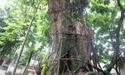 Kiểm lâm Hà Nội: 'Người dân có quyền tự bán cây sưa'