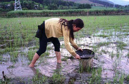 Một phụ nữ lội ruộng bắt nòng nọc. Ảnh: Phạm Linh.
