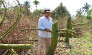 Nhiều vườn sầu riêng chết sau triều cường, nông dân miền Tây phải chặt bỏ