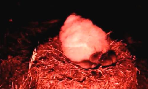 Chuột ngoại cỡ ăn sống hai triệu chim non trên đảo thuộc Anh