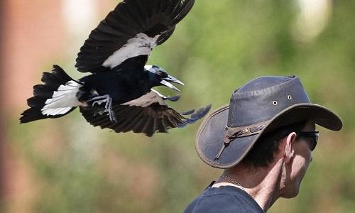 Chim ác là - cơn ác mộng mùa xuân của người dân Australia