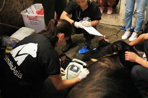 Con gấu thứ 200 được giải cứu khỏi nuôi nhốt