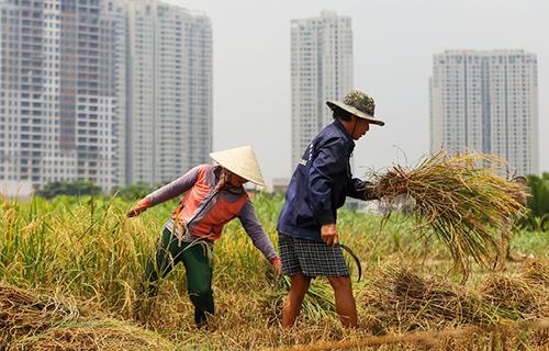 Không được xây dựng nhà cửa, người dân bán đảo Thanh Đa tận dụng đất trồng lúa, nuôi cá. Ảnh: Quỳnh Trần.
