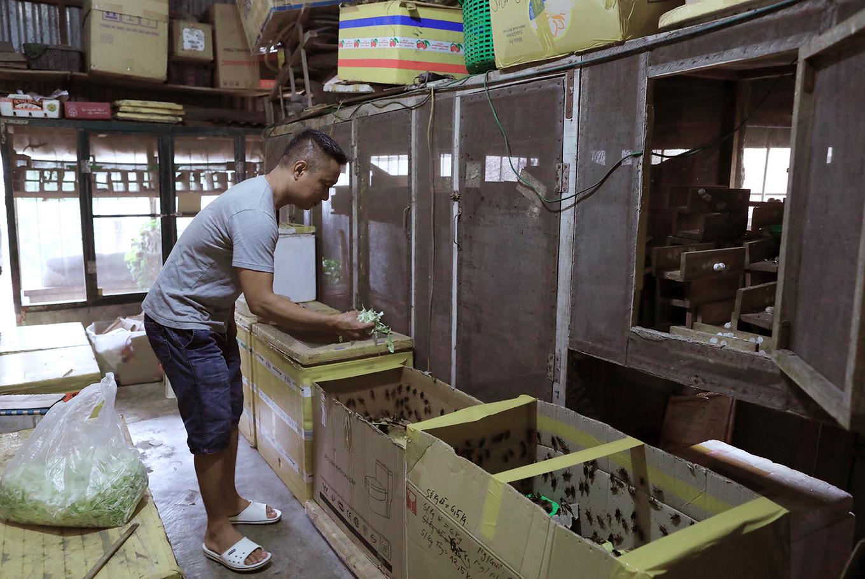 Nghề nuôi dế lấy trứng thu hàng chục triệu đồng mỗi tháng