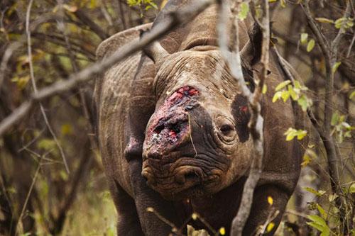 Một con tê giácbị nhân viên thú y tháo sừng sau đó bị nhiễm trùng và chết. Ảnh: Brent Stirton.