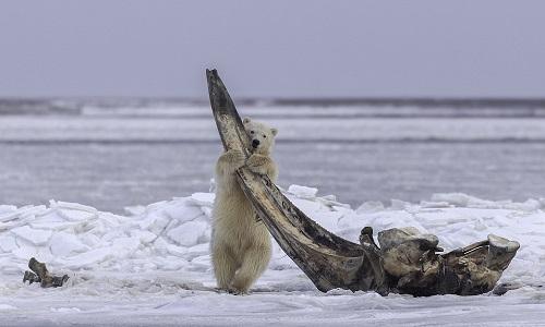 Gấu Bắc Cực ôm khúc xương cá voi dài gần 5 mét. Ảnh:Eiji Itoyama.