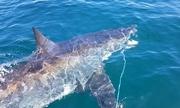 Cá mập trắng dài ba mét cướp mực của ngư dân