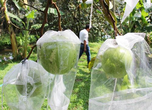 Trái vú sữa được bao bằng túi nilon chống ruồi vàng. Ảnh: Hoàng Nam