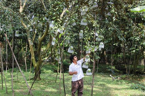 Đây là vụ đầu tiên vú sữa tại vườn anh Bình được thu mua xuất đi Hoa Kỳ. Ảnh: Hoàng Nam