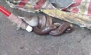 Rắn mống siết chết chuột ven đường phố Thái Lan