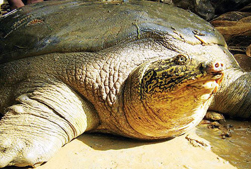 Cá thể rùa Hoàn Kiếm ở hồ Đồng Mô, Sơn Tây.