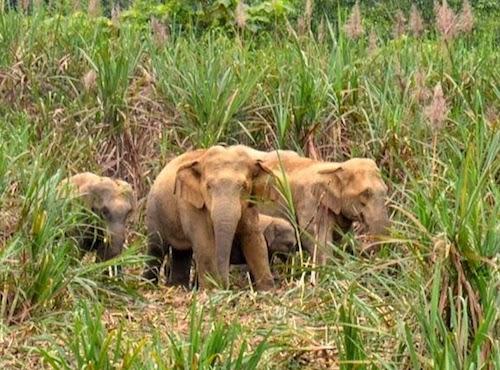 Người dân Nghệ An nơm nớp lo voi phá bản