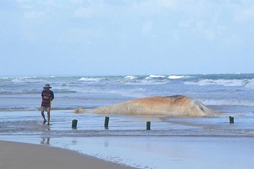 Con cá voi nặng 10 tấn dạt vào bờ biển Quảng Trị. Ảnh: Quang Hà