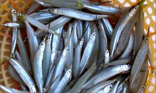 Thương lái Trung Quốc lùng mua cá lìm kìm ở miền Tây