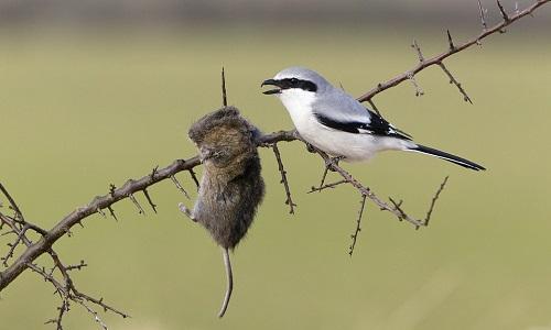 Chim bách thanh treo xác chuột trên cành gai nhọn. Ảnh:Duncan Usher.