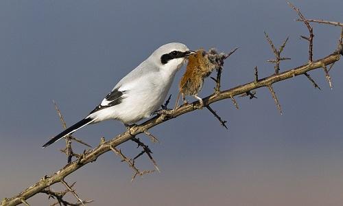 Chim bách thanh tận hưởng bữa ăn trên cành gai. Ảnh:Duncan Usher.