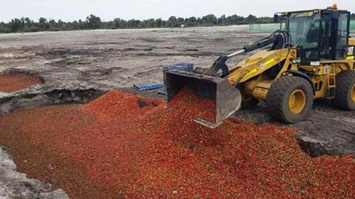 Một lượng lớn dâu tây bị tiêu hủy trong cuộc khủng hoảngkim khâu. Ảnh: News