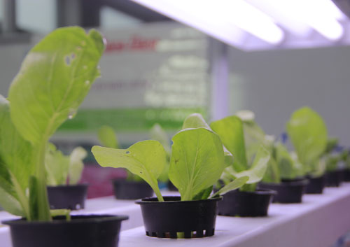 Đèn Led chiếu sáng cây trồng thí nghiệm tại Trung tâm R&D chiếu sáng Rạng Đông. Ảnh: P. Hòa.
