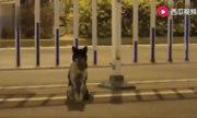 Chó ngồi đợi ven đường nơi chủ chết hơn 80 ngày ở Trung Quốc