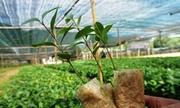 Người dân Quảng Ngãi đổ xô trồng quế Trà Bồng