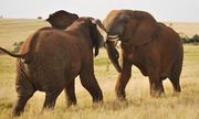 Tại sao voi đực hay cáu khi vào mùa sinh sản?