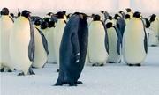 Chim cánh cụt đen tuyền cực hiếm nổi bật giữa đàn