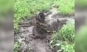 Liều mạng tấn công đồng loại, cá sấu suýt bị cắn đứt đuôi