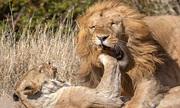 Sư tử cái cắn xé bạn tình, trả thù cho đàn con bị giết