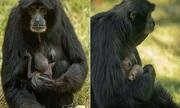Vượn mực sinh con dù đang uống thuốc tránh thai