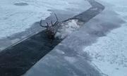 Giải cứu hươu đông cứng dưới mặt sông đóng băng ở Nga