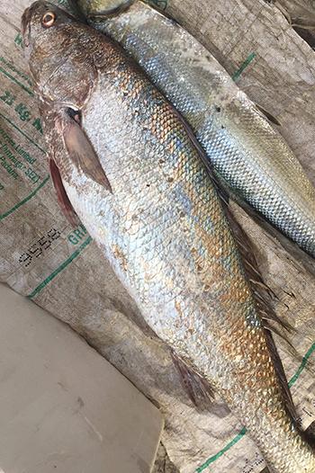 Trên lưng con cá có nhiều vảy vàng óng, được ngư dân cho là cá sủ vàng. Ảnh: Hồ Tuấn
