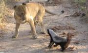 Lửng mật đụng độ với sư tử ngay trước mặt du khách