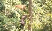 Voi lạc đàn kết bạn với bò tót Ấn Độ