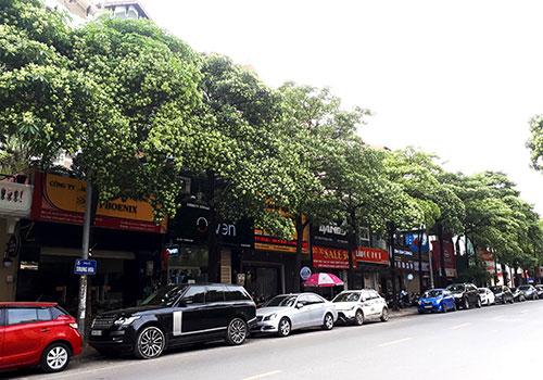 Hoa sữa dày đặc trên nhiều tuyến phố Hà Nội. Ảnh: Quang Chiến