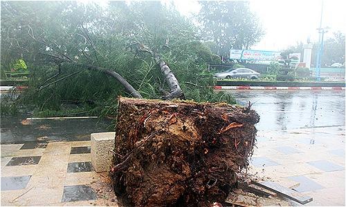 Cây dương bị quật ngã trên đường Thùy Vân (TPVũng Tàu). Ảnh: Nguyễn Khoa.
