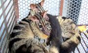 Thanh niên ở Vũng Tàu bị bắt quả tang bán 2 con cầy vằn quý hiếm