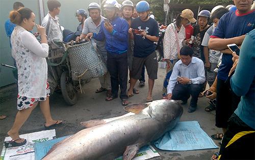 Nhiều người đến xem cá tra dầu 240 kg được đưa về Đồng Tháp. Ảnh: Hồng Ngự