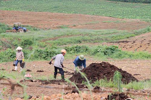 Công ty Bình Hà đã chuyển đổi mục đích sử dụng đất, trồng hơn 200 ha chuối. Ảnh: Đức Hùng