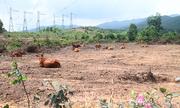 Dự án nuôi bò nghìn tỷ 'phá cỏ, trồng chuối' ở Hà Tĩnh