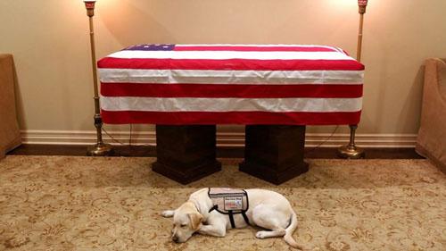 Chú chó Sully nằm cạnh linh cữu cố tổng thống George H.W Bush. Ảnh: Instagram.