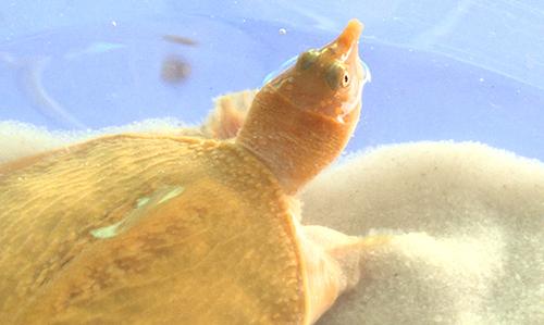 Một trong hai con cua đinh màu vàng được ông Cường nuôi trong bểkính. Ảnh:Vĩnh Nam.
