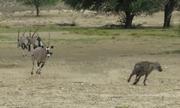 Linh cẩu đơn độc bị linh dương đuổi khỏi hồ nước