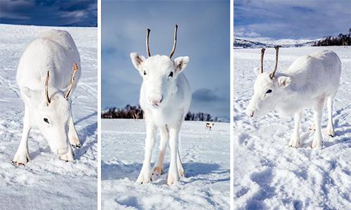 Tuần lộc trắng xuất hiện ở miền bắc Na Uy. Ảnh: Dodo.