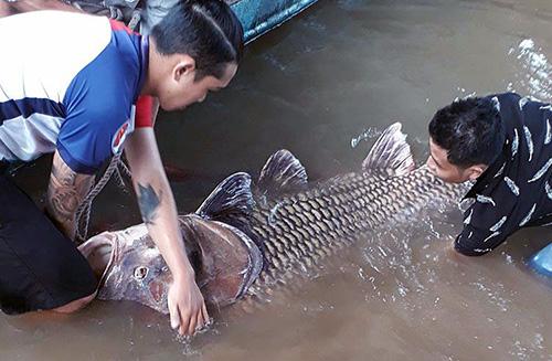 Cá hô hơn 125 kg mắc lưới ngư dân trên sông Tiền