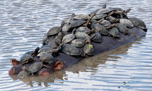 Đàn rùa bò kín trên lưng hà mã. Ảnh: Sun.