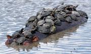Đàn rùa chen chúc trên lưng hà mã để đi nhờ